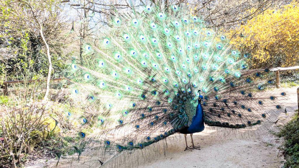 a photo of a peacock