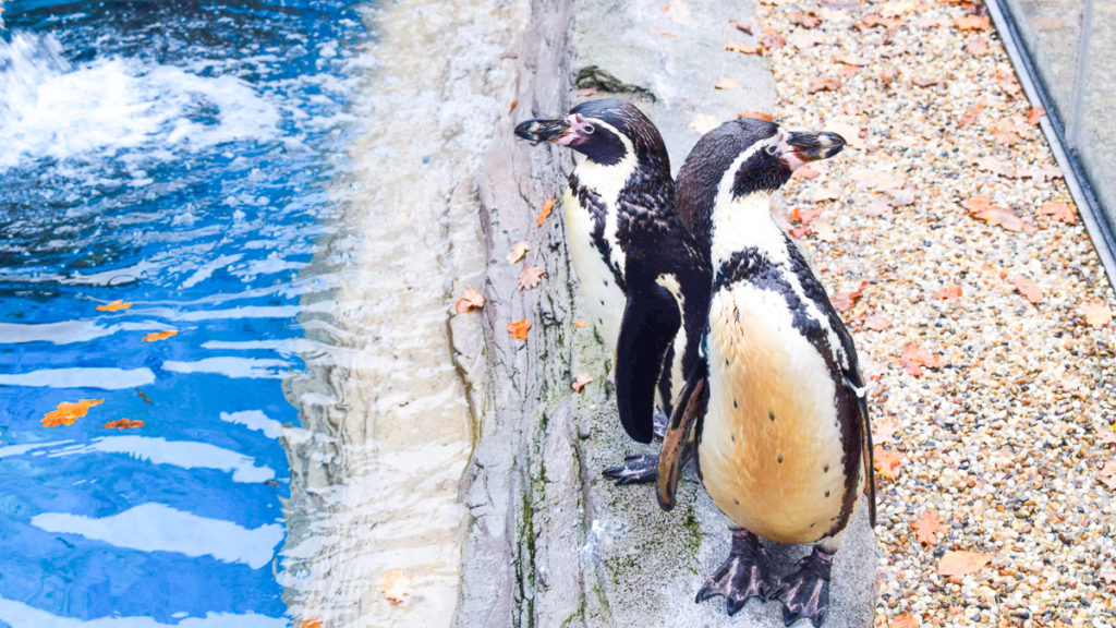 a photo of 2 penguins